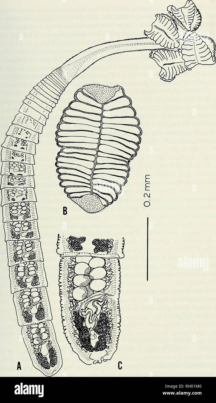 medium resolution of science natural history natural history a new species of rhinebothrium 117 e fig 1 rhinebothrium urohaudium young 1955 n comb a entire worm