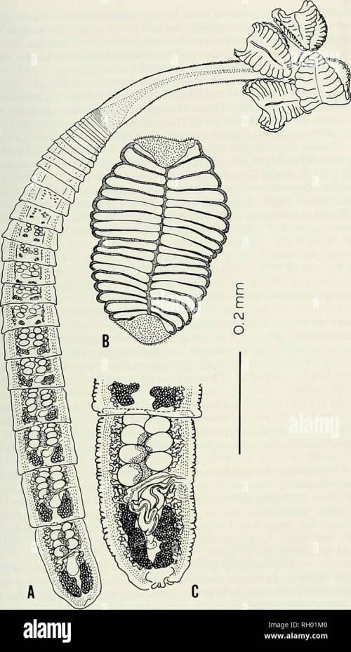 small resolution of science natural history natural history a new species of rhinebothrium 117 e fig 1 rhinebothrium urohaudium young 1955 n comb a entire worm