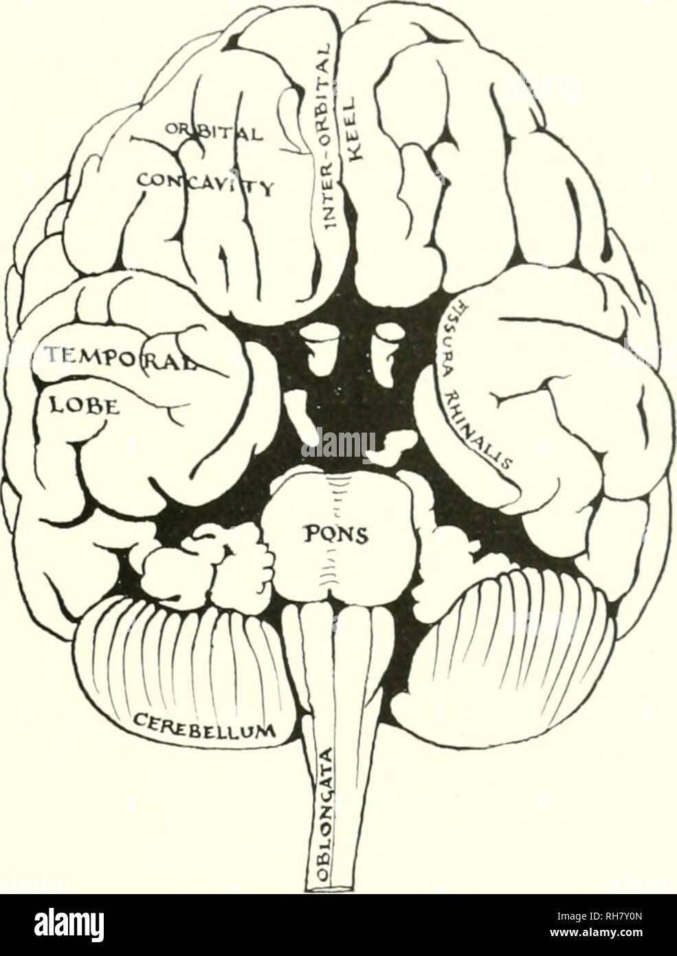 lower brain diagram glow plug wiring 6 9 the from ape to man a contribution study of evolution and development human pongidae