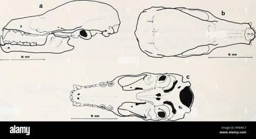 small resolution of fig 37 leptonycteris nivalis a skull lateral view b skull dorsal view c basal view teeth dental formula 2 3 1 3 4 5