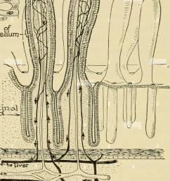 biology the story of living things cells of epithaliunj intestm al glcxrjcc niuscler vein icccteal arter i diagram of intestinal villi and glands  [ 1052 x 1390 Pixel ]