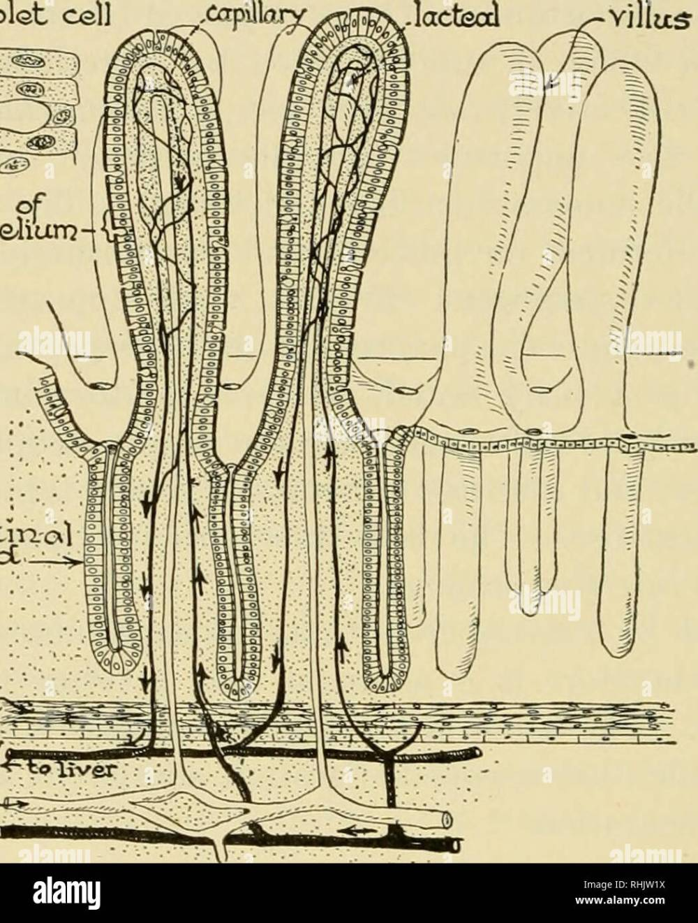 medium resolution of  biology the story of living things cells of epithaliunj intestm al glcxrjcc niuscler vein icccteal arter i diagram of intestinal villi and glands