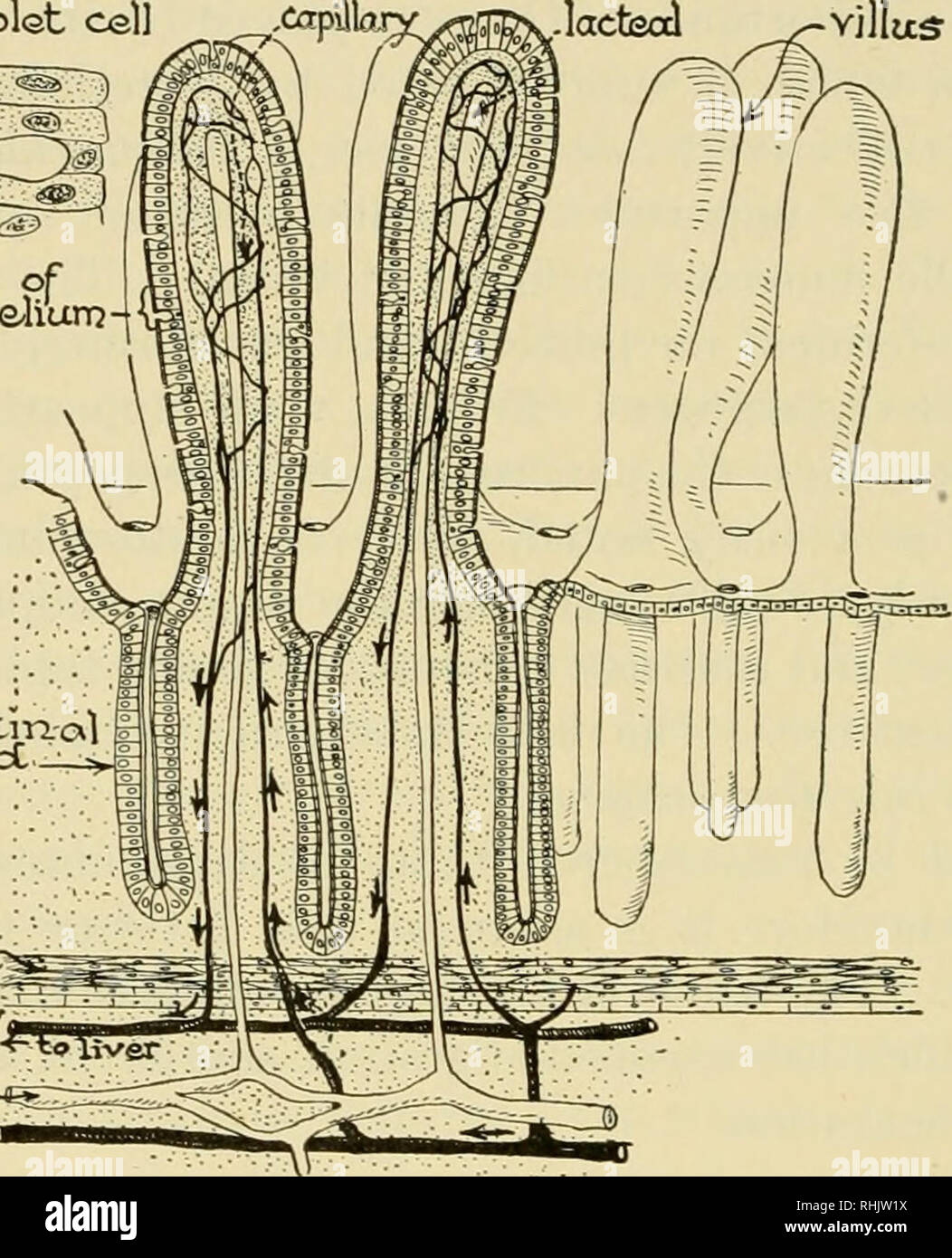hight resolution of  biology the story of living things cells of epithaliunj intestm al glcxrjcc niuscler vein icccteal arter i diagram of intestinal villi and glands