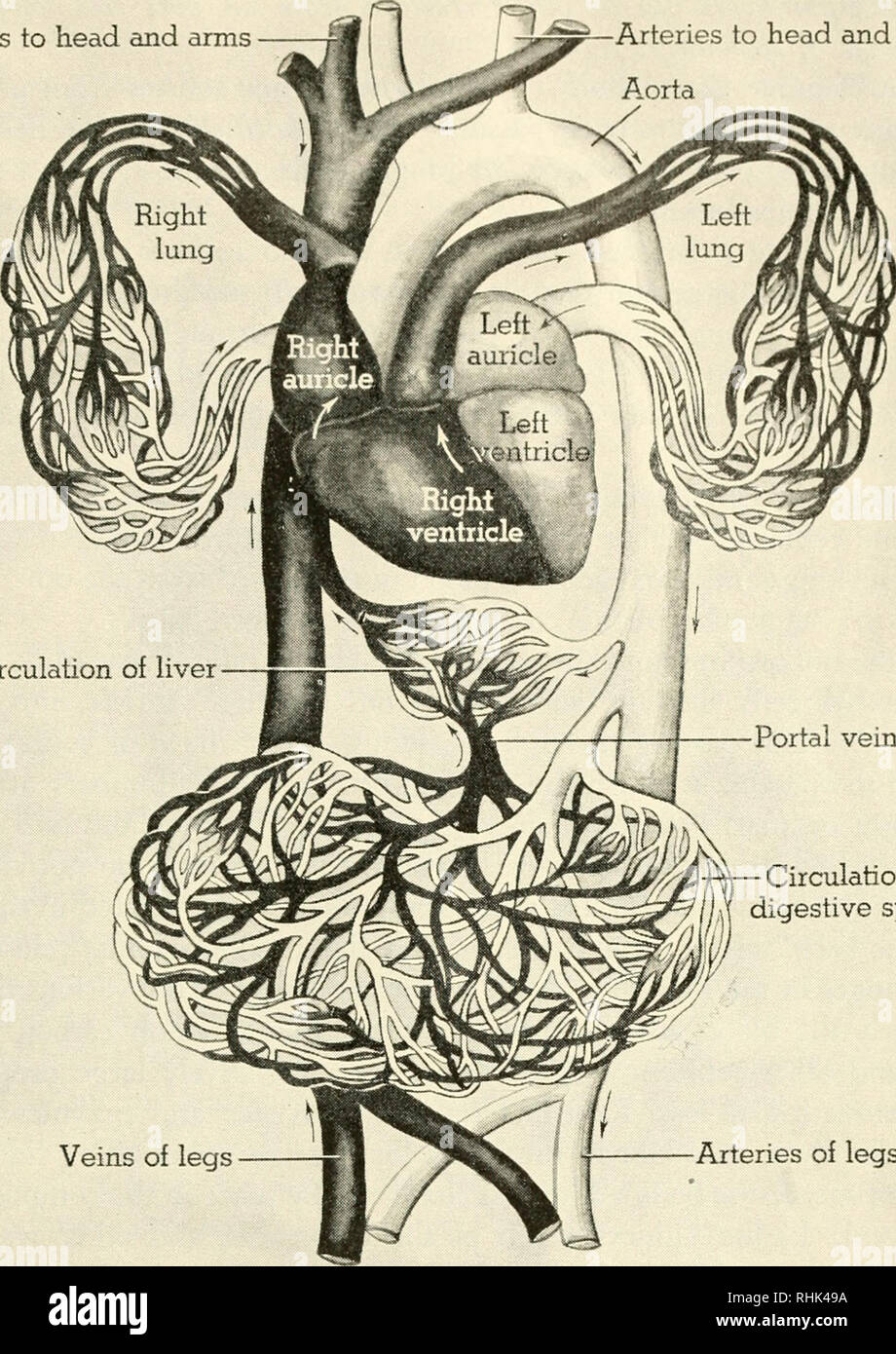 hight resolution of veins to head and arms arteries to head and arms aorta circulation of liver portal vein circulation of digestive system veins of legs arteries of