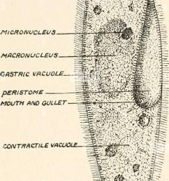 c a ciliated protozoon paramecium caudatum an infusion of vegetable or animal matter becomes the feed ing ground not only of  [ 626 x 1390 Pixel ]
