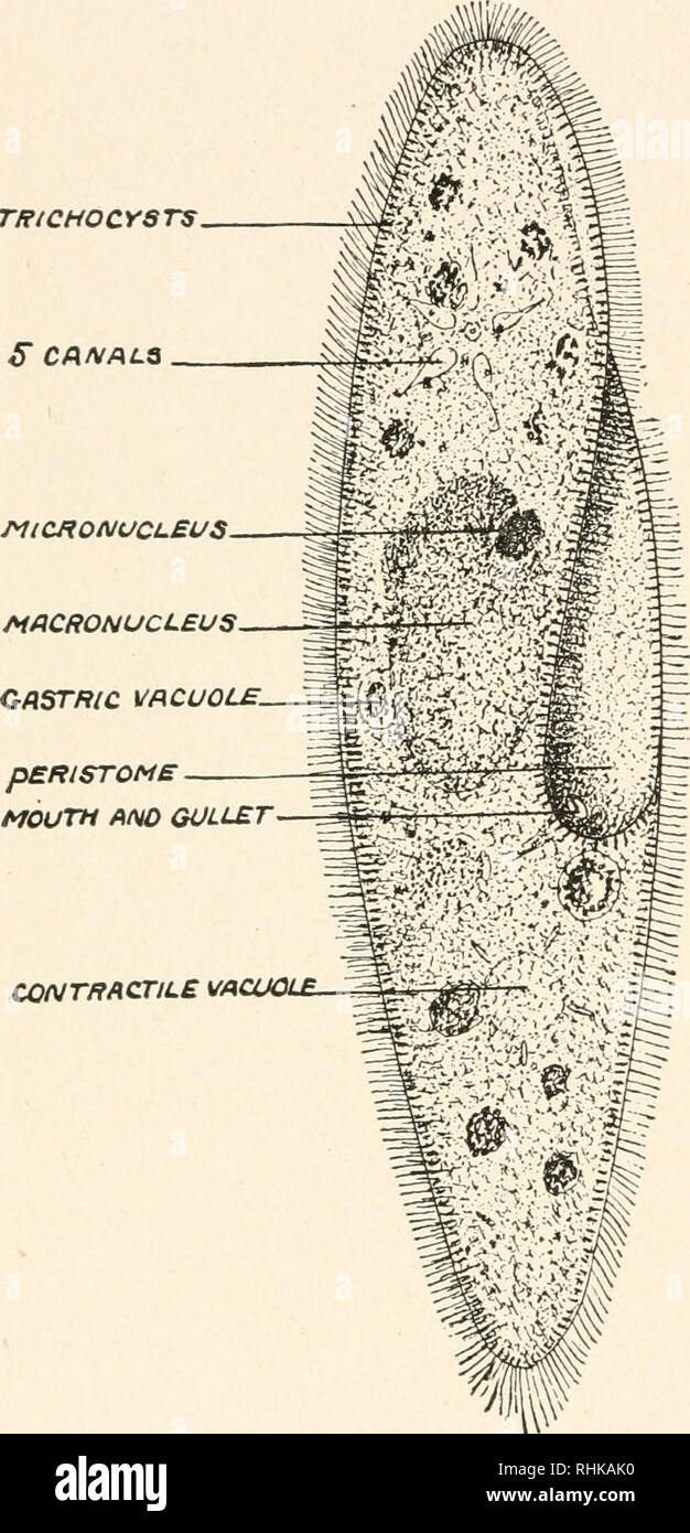 hight resolution of c a ciliated protozoon paramecium caudatum an infusion of vegetable or animal matter becomes the feed ing ground not only of