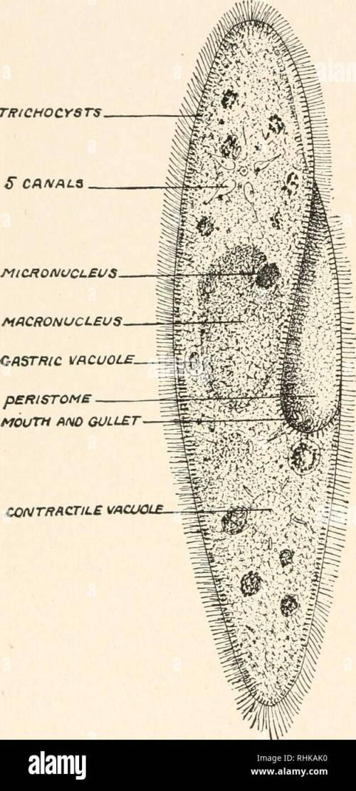 small resolution of c a ciliated protozoon paramecium caudatum an infusion of vegetable or animal matter becomes the feed ing ground not only of
