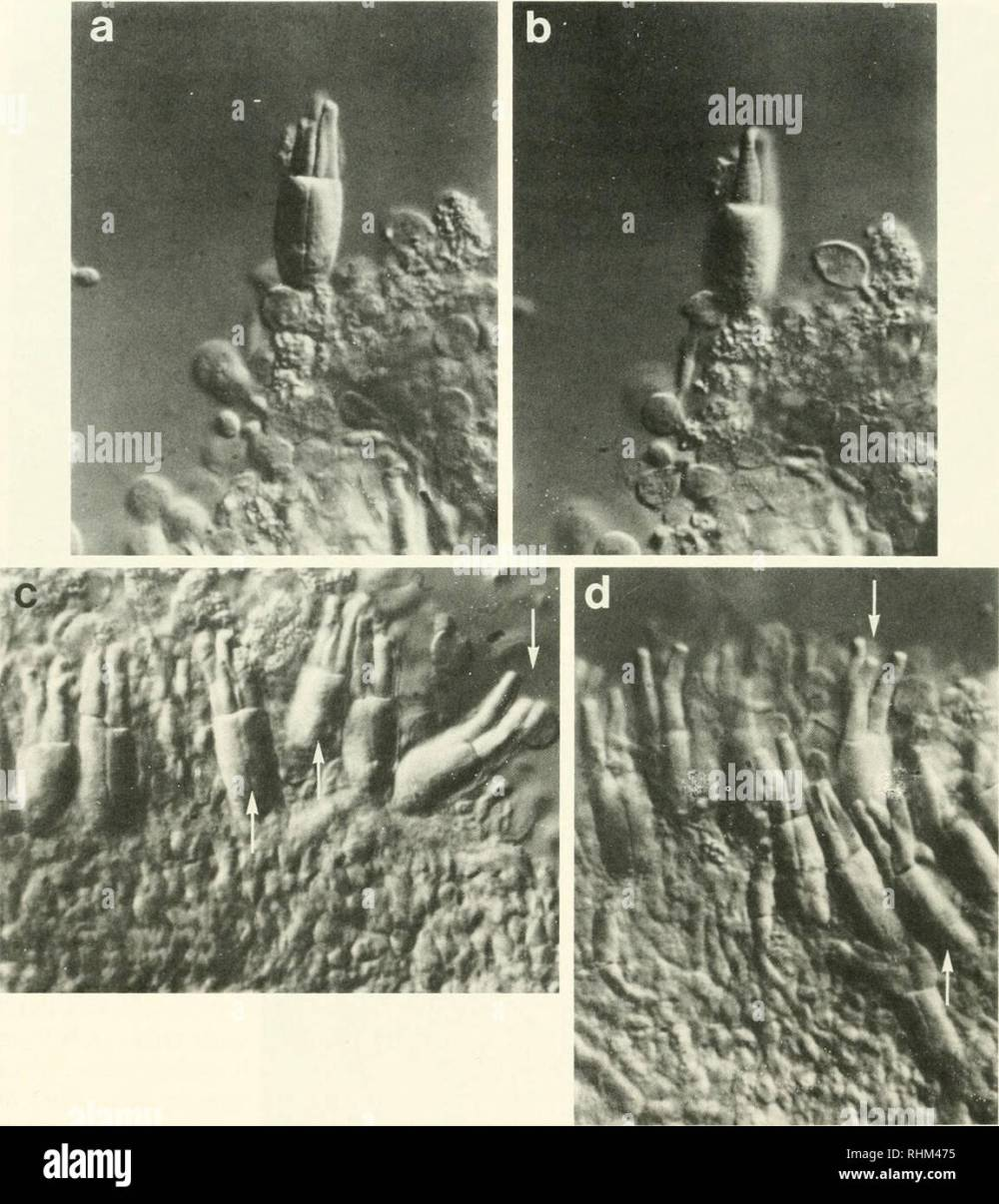medium resolution of biology zoology biology marine biology 440 b a collins and e f macnichol jr figure 2 triple cones from the retina of the sea raven