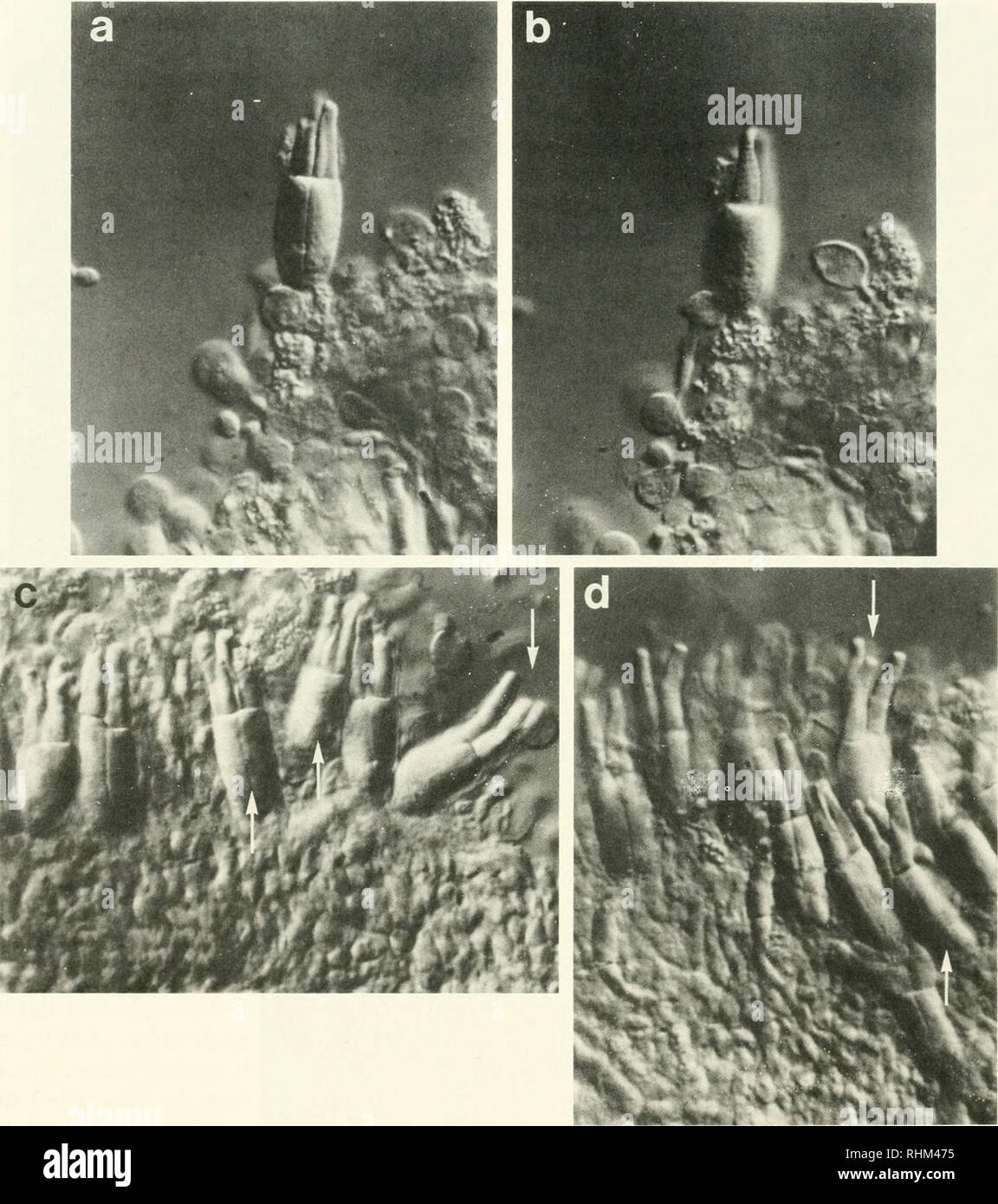 hight resolution of biology zoology biology marine biology 440 b a collins and e f macnichol jr figure 2 triple cones from the retina of the sea raven