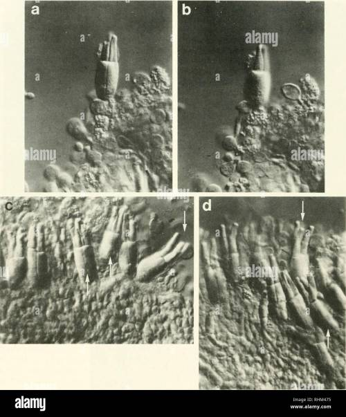 small resolution of biology zoology biology marine biology 440 b a collins and e f macnichol jr figure 2 triple cones from the retina of the sea raven