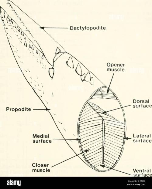 small resolution of development of asymmetry 97 dactylopodite opener muscle propodite figure 2 cut away diagram of an adult cutter claw showing the location and relative size