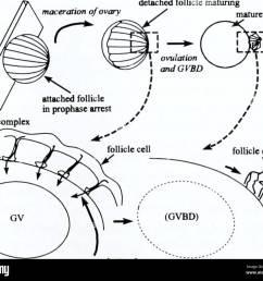 the biological bulletin biology zoology biology marine biology junctional complex  [ 1300 x 1140 Pixel ]