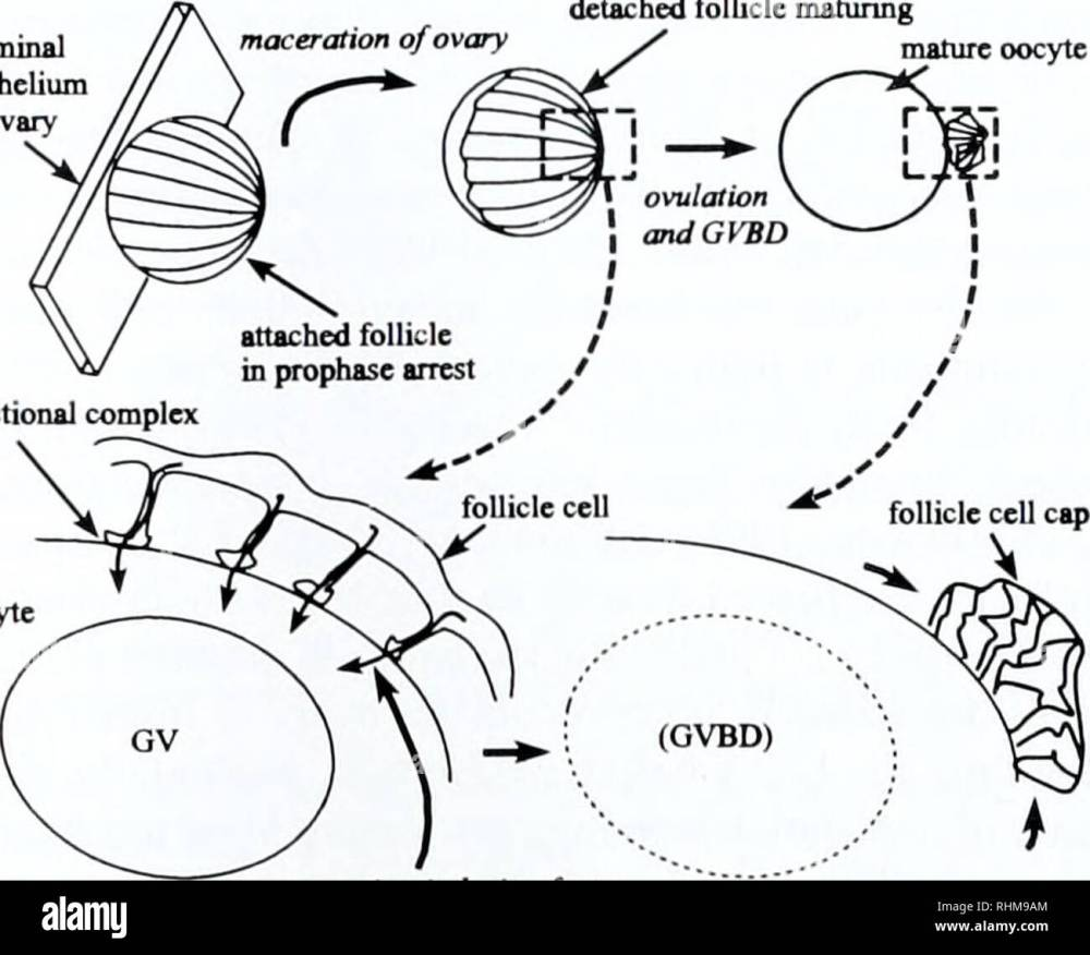 medium resolution of the biological bulletin biology zoology biology marine biology junctional complex