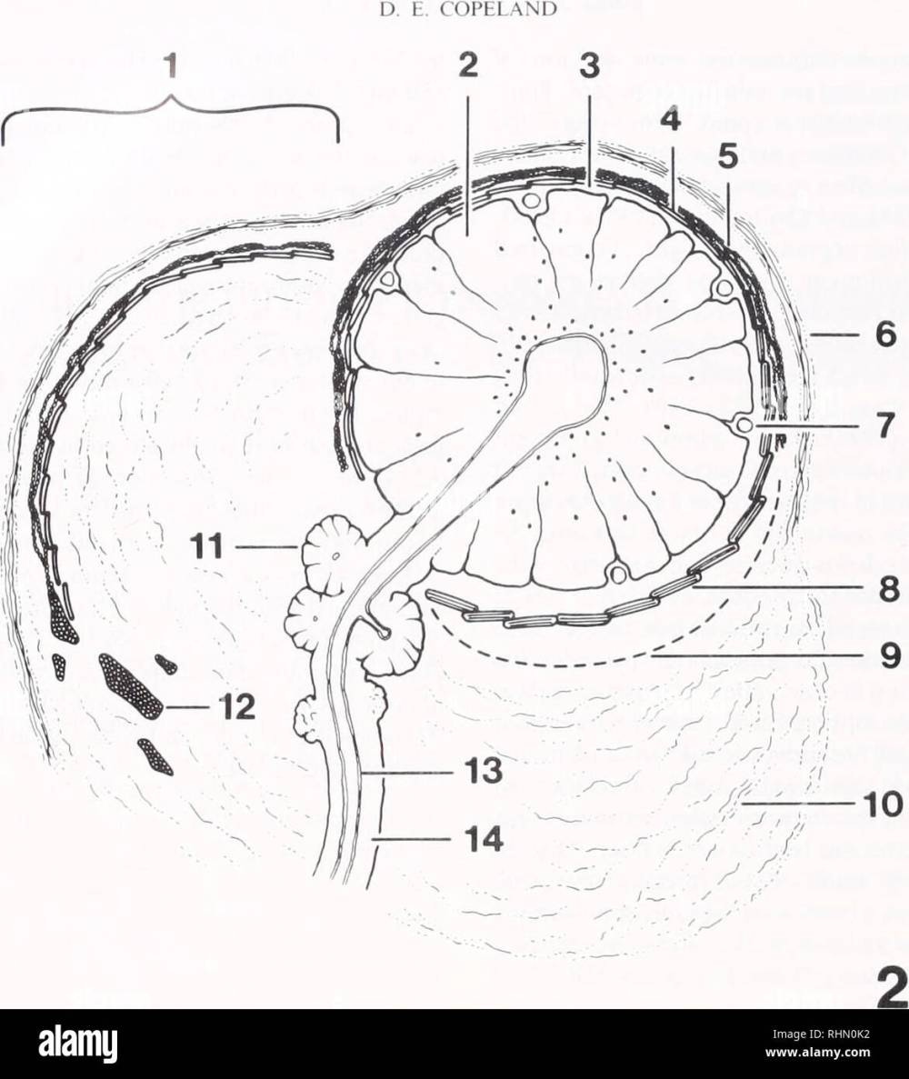 medium resolution of biology zoology biology marine biology 146 figure 2 diagram of gland d same orientation as in figure 1 1 canopy with outer connective tissue layer