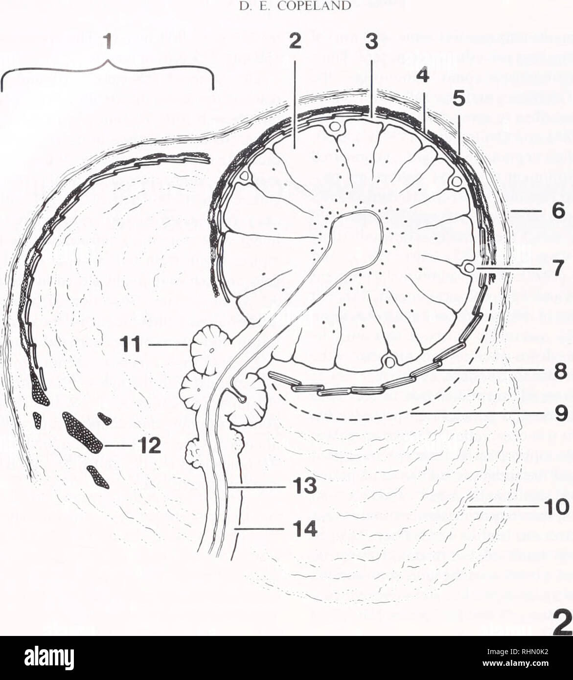 hight resolution of biology zoology biology marine biology 146 figure 2 diagram of gland d same orientation as in figure 1 1 canopy with outer connective tissue layer