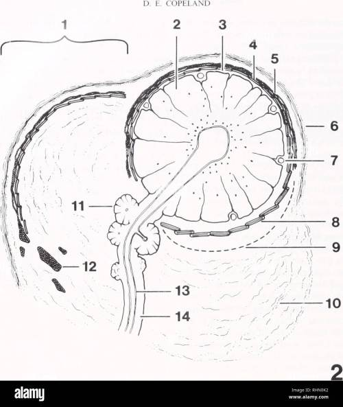 small resolution of biology zoology biology marine biology 146 figure 2 diagram of gland d same orientation as in figure 1 1 canopy with outer connective tissue layer