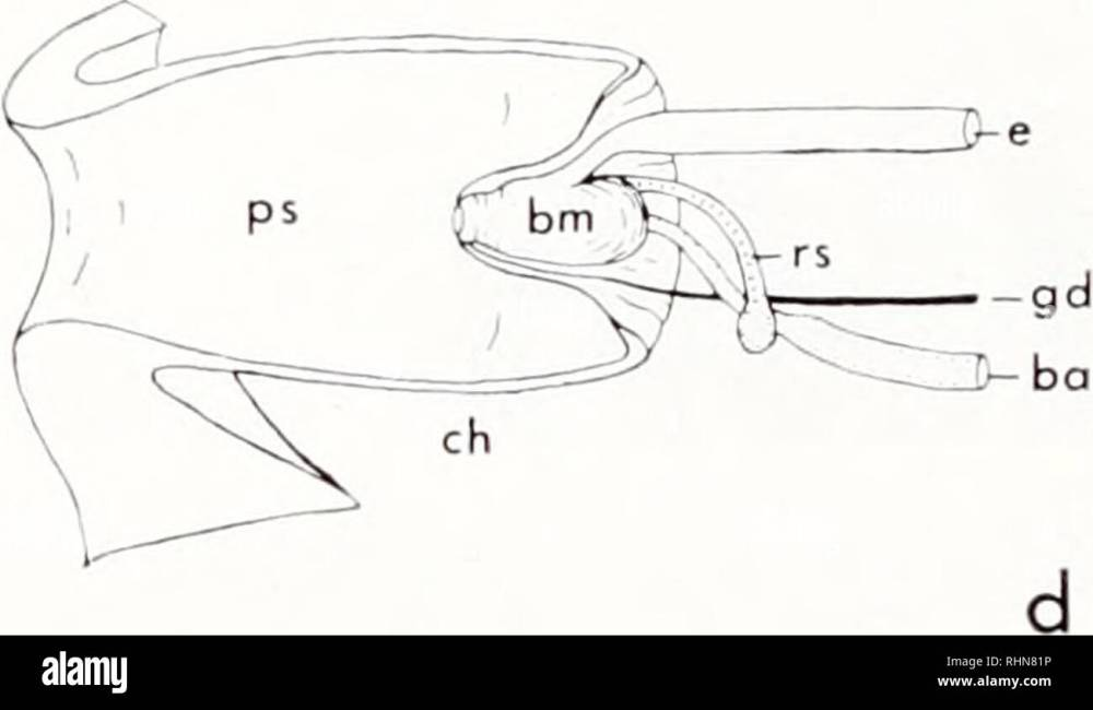 medium resolution of diagrams illustrating the gross anatomy amputation and regeneration of the proboscis of urosalpin v cinerea shell height approximately 25 mm a median