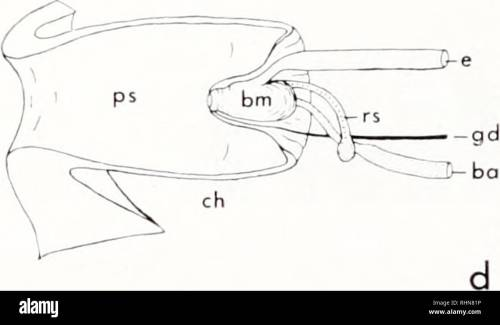 small resolution of diagrams illustrating the gross anatomy amputation and regeneration of the proboscis of urosalpin v cinerea shell height approximately 25 mm a median