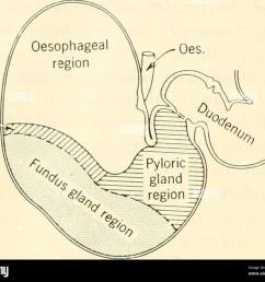 biochemistry 426 animal biochemistry cardiac gland region figure 17 1 diagram of the stomach of a horse courtesy of w b saunders co  [ 1300 x 1134 Pixel ]