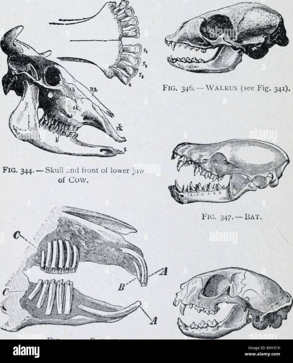 medium resolution of 1 94 chart of mammalian skulls illustrated study man s dental formula is 5 32 in like manner fill out formulas below cow 1 c 2 32 rabbit
