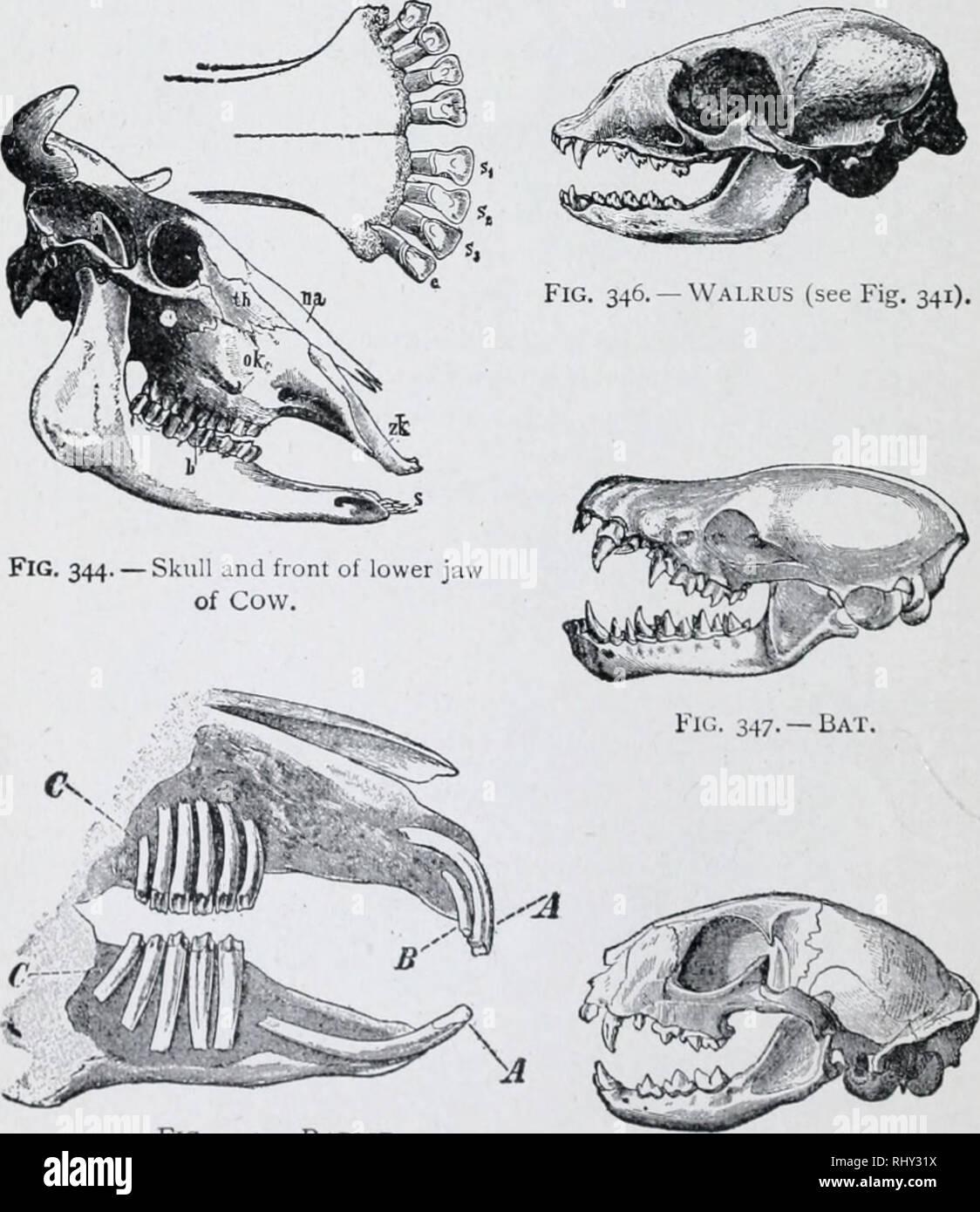 hight resolution of 1 94 chart of mammalian skulls illustrated study man s dental formula is 5 32 in like manner fill out formulas below cow 1 c 2 32 rabbit