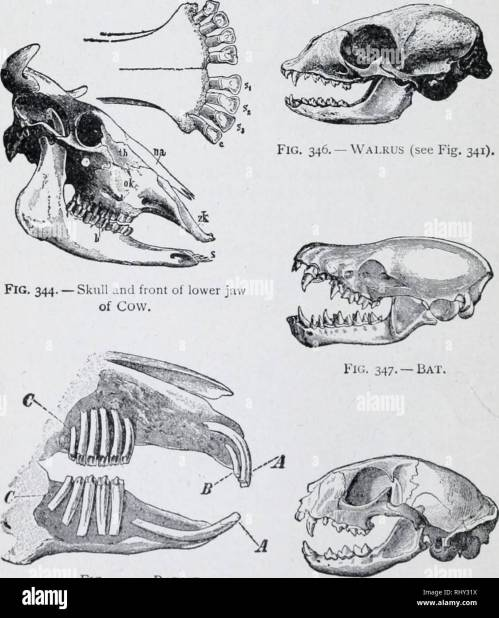 small resolution of 1 94 chart of mammalian skulls illustrated study man s dental formula is 5 32 in like manner fill out formulas below cow 1 c 2 32 rabbit