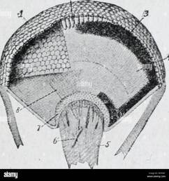 diagram of simple eye of insect l lens a optic nerve sight arc bic hly developed and consist of two compound eyes on the side of  [ 1300 x 1340 Pixel ]