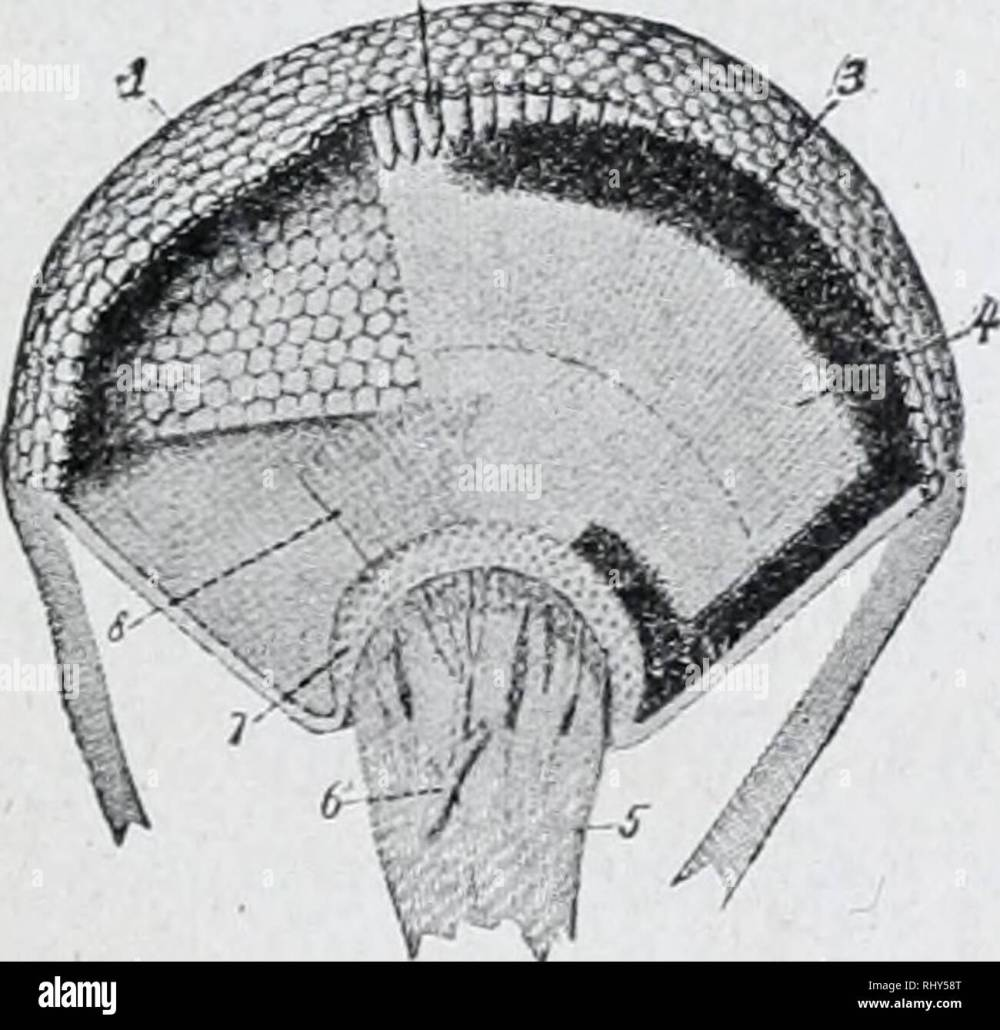 medium resolution of diagram of simple eye of insect l lens a optic nerve sight arc bic hly developed and consist of two compound eyes on the side of