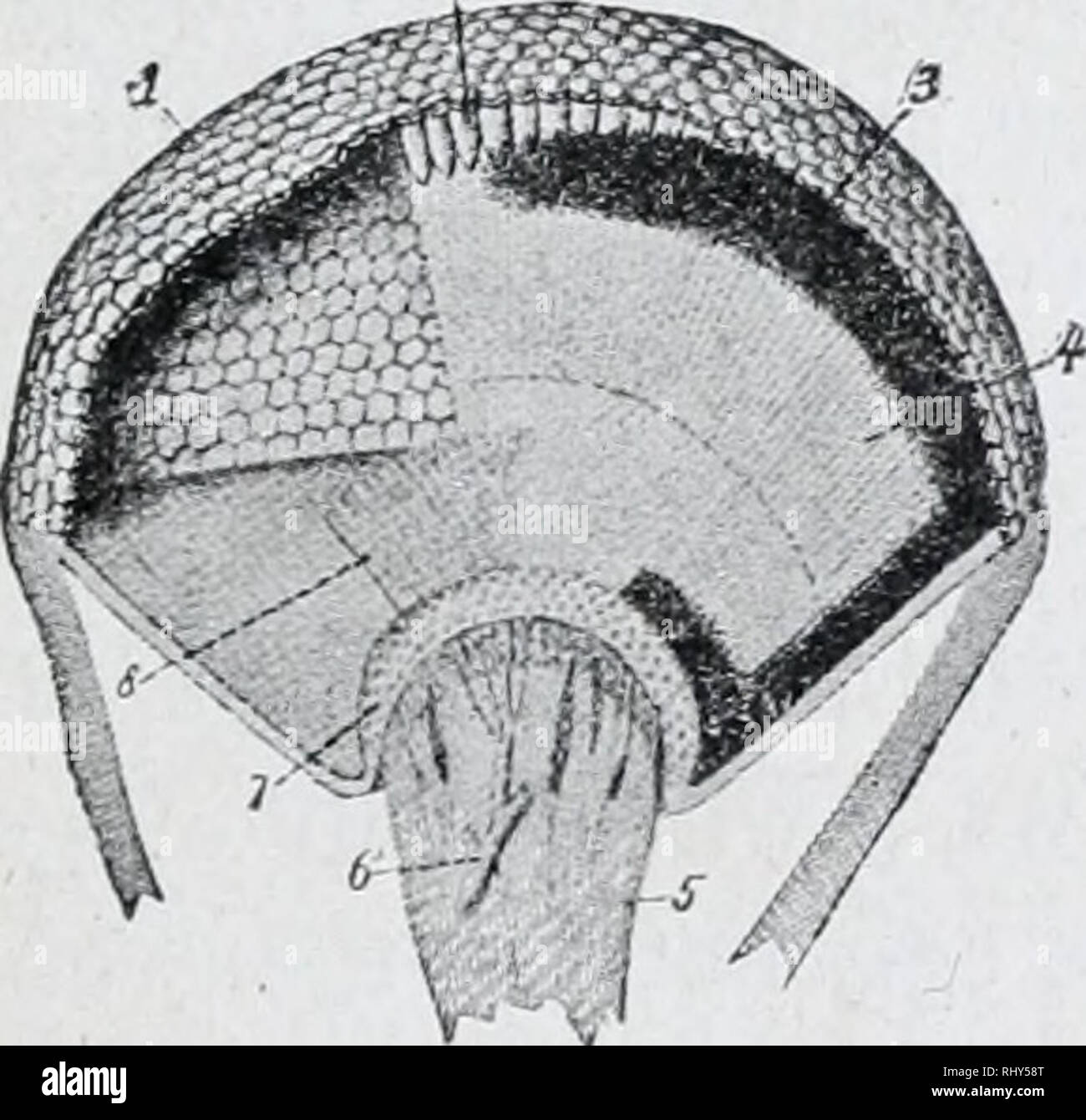 hight resolution of diagram of simple eye of insect l lens a optic nerve sight arc bic hly developed and consist of two compound eyes on the side of