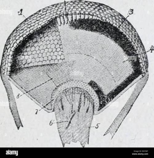 small resolution of diagram of simple eye of insect l lens a optic nerve sight arc bic hly developed and consist of two compound eyes on the side of