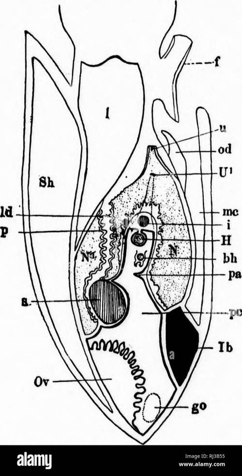 small resolution of  a textbook of invertebrate morphology microform invertebrates morphology animals invert br s morphologie animaux 344 in vertrbba te morpiioloq