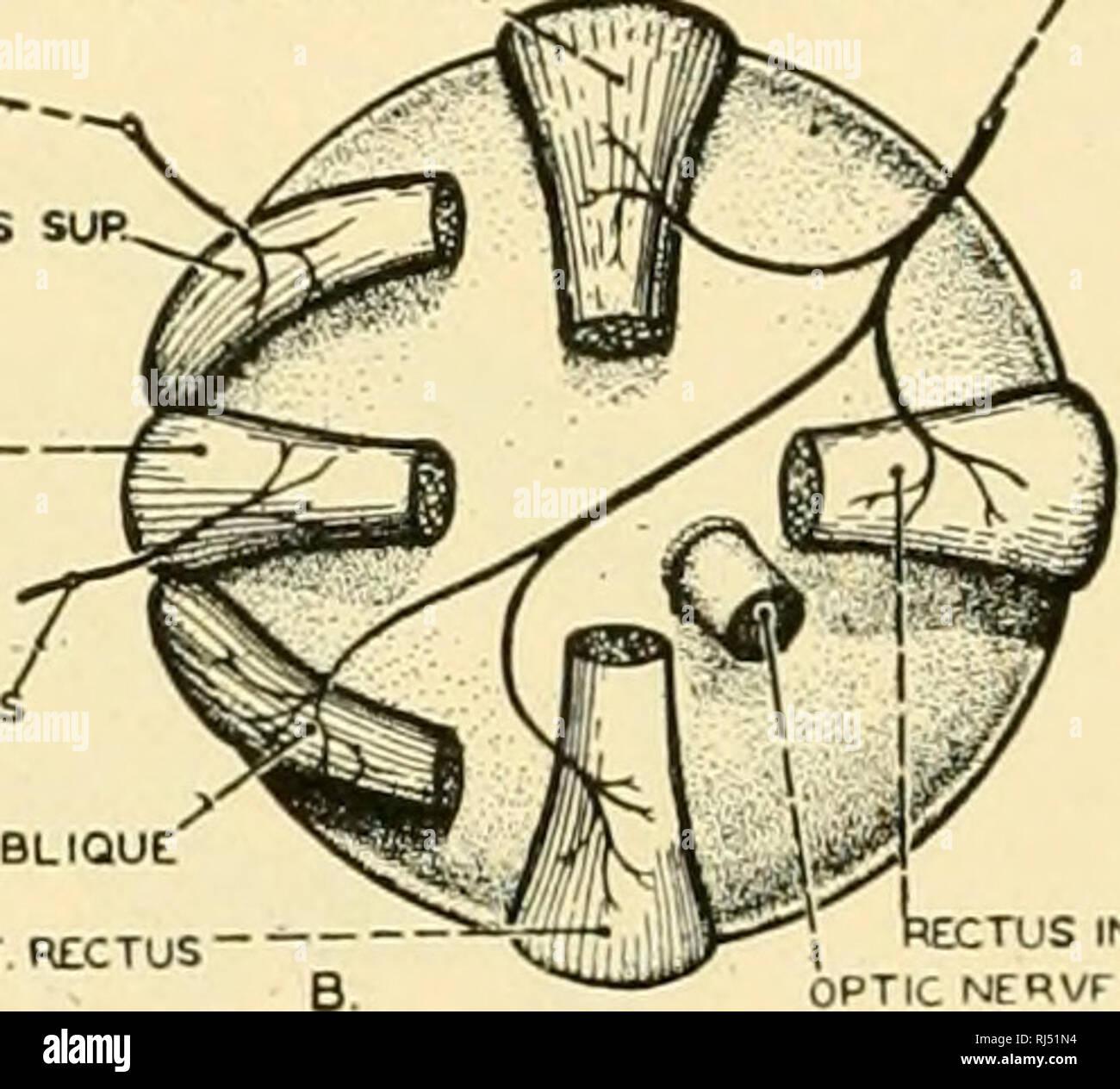 diagram of the left eye honda xrm cdi wiring diagrams stock photos images chordate anatomy chordata comparative cxr rectus nf
