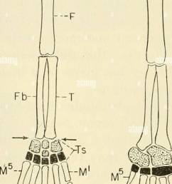 the chordates chordata 372 comparative anatomy its history aim and method there is some variation however in the number of segments pha langes in  [ 976 x 1390 Pixel ]