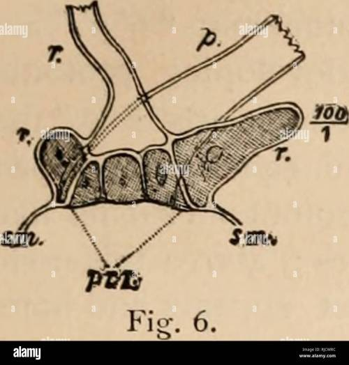 small resolution of the characeae of america poses a cell between the first and second cells of