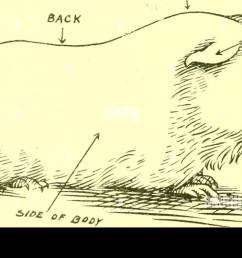 cavy culture a book of practical instructions on the raising and marketing of guinea pigs guinea pigs having from one to two young to a litter  [ 1300 x 751 Pixel ]