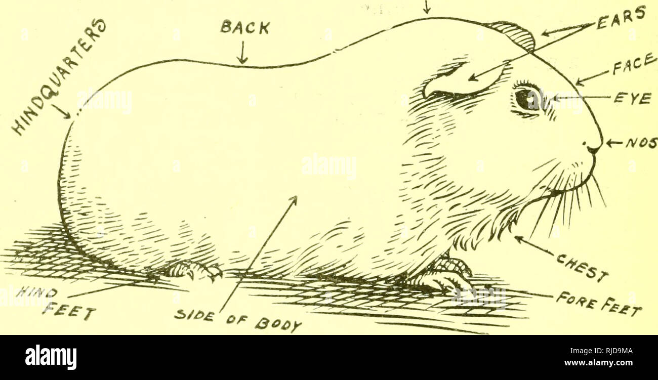 hight resolution of  cavy culture a book of practical instructions on the raising and marketing of guinea pigs guinea pigs having from one to two young to a litter