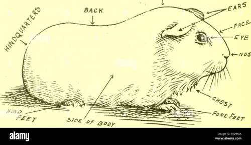 small resolution of  cavy culture a book of practical instructions on the raising and marketing of guinea pigs guinea pigs having from one to two young to a litter