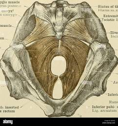 530 muscles of the perineum sacrococoygeus posticus or extensor ooccygis muscle m sacrococcygeus posteric tip of the coccyx apex os31s coccjgis  [ 1300 x 1350 Pixel ]