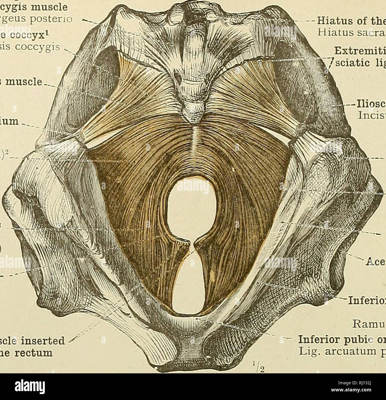 hight resolution of 530 muscles of the perineum sacrococoygeus posticus or extensor ooccygis muscle m sacrococcygeus posteric tip of the coccyx apex os31s coccjgis
