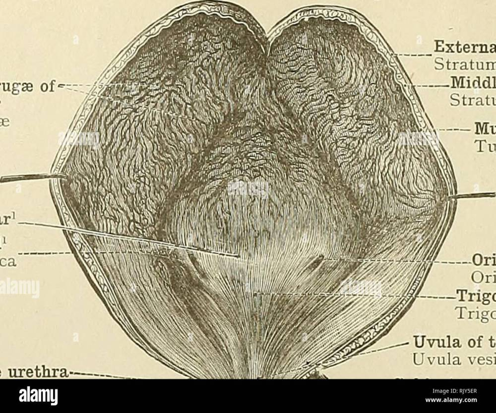medium resolution of  an atlas of human anatomy for students and physicians anatomy 498 urinary organs mucous folds or rugse of the bladder plicaa mucosas mercier s bar