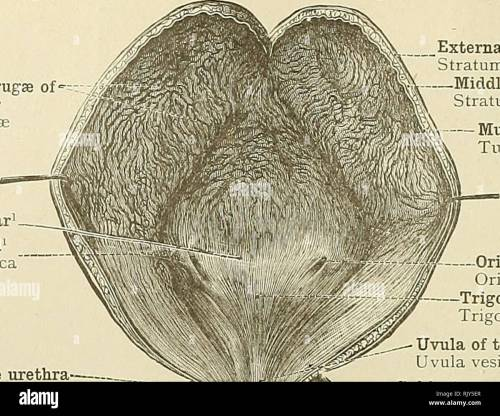 small resolution of  an atlas of human anatomy for students and physicians anatomy 498 urinary organs mucous folds or rugse of the bladder plicaa mucosas mercier s bar