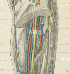 atlas of applied topographical human anatomy for students and practitioners anatomy  [ 652 x 1390 Pixel ]