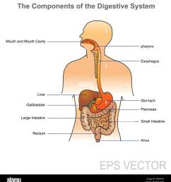 the human digestive system consists of the gastrointestinal tract plus the accessory organs of digestion in this system the process of digestion [ 1238 x 1390 Pixel ]