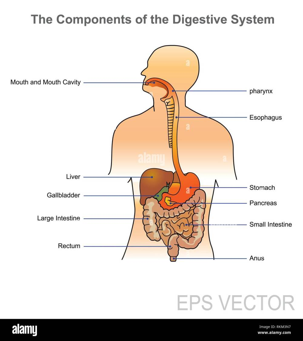 medium resolution of the human digestive system consists of the gastrointestinal tract plus the accessory organs of digestion in this system the process of digestion