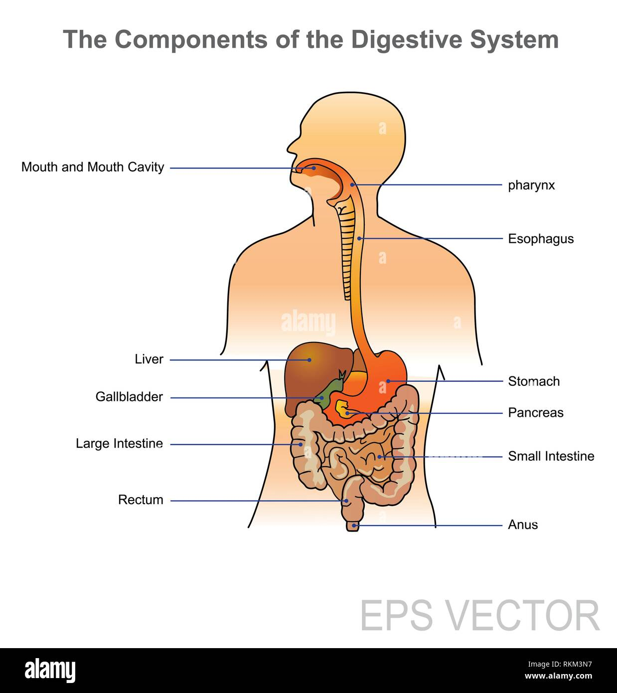 hight resolution of the human digestive system consists of the gastrointestinal tract plus the accessory organs of digestion in this system the process of digestion