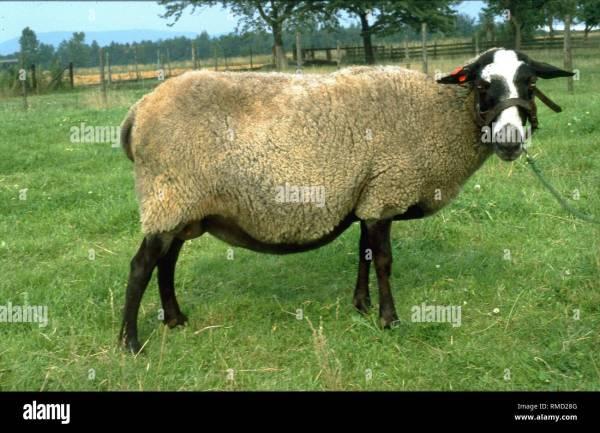 Romanov Sheep - Year of Clean Water