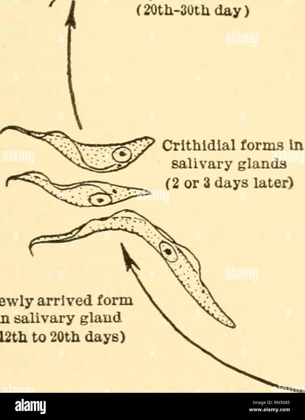 medium resolution of tsetse fly transmission by bite of tsetse fly orms in salivary glands ready for re infection 20th 30thday crithldlal forms in salivary glands 2 or 3 days