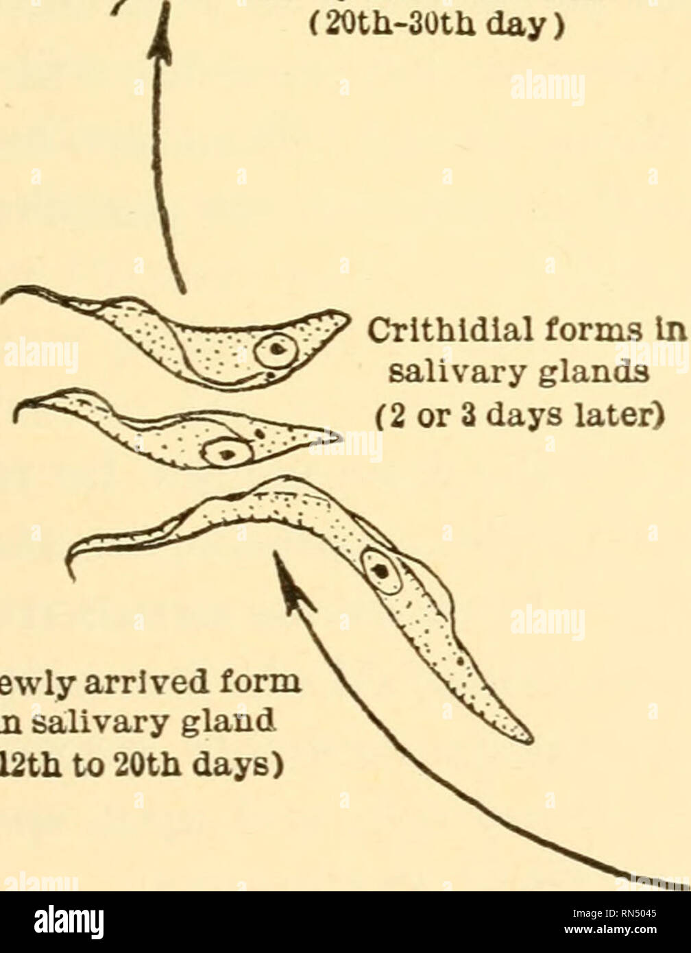 hight resolution of tsetse fly transmission by bite of tsetse fly orms in salivary glands ready for re infection 20th 30thday crithldlal forms in salivary glands 2 or 3 days