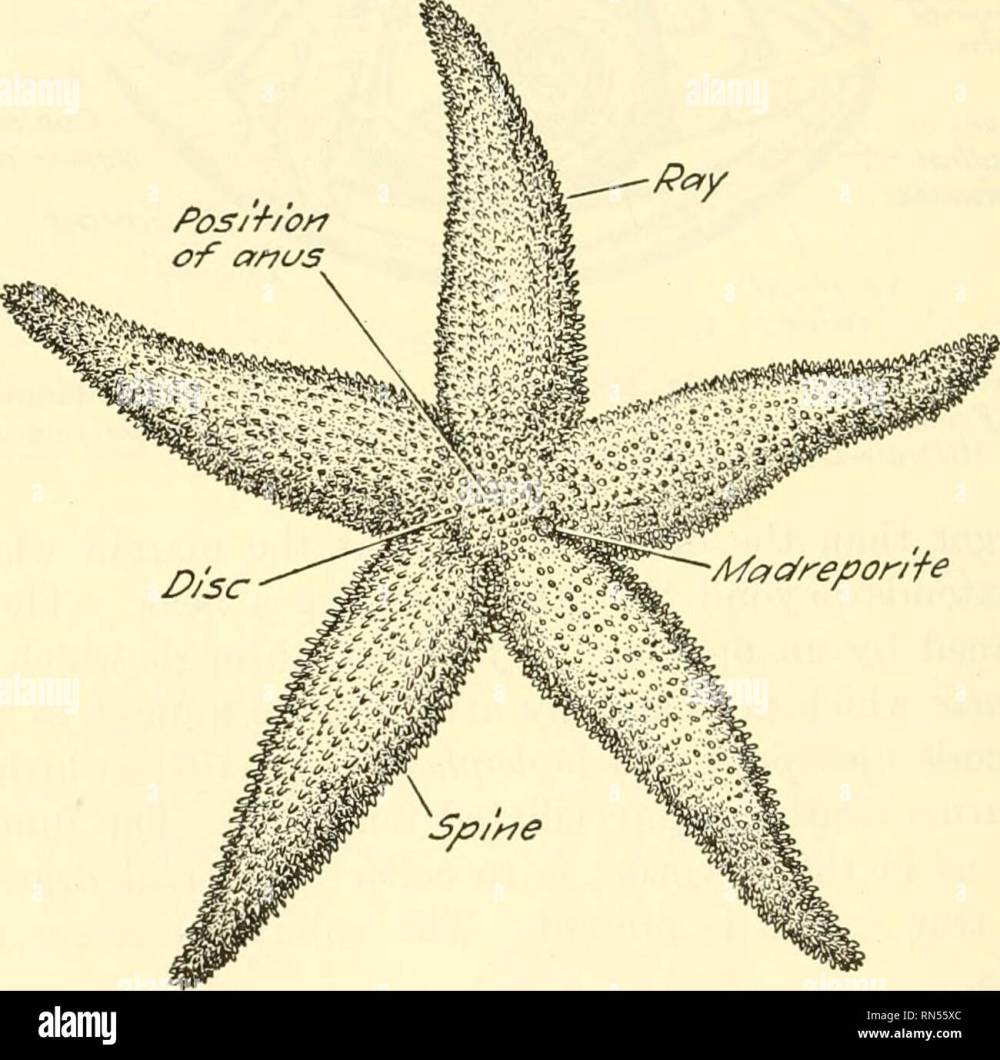 medium resolution of chapter xxxv starfish a type of the phylum