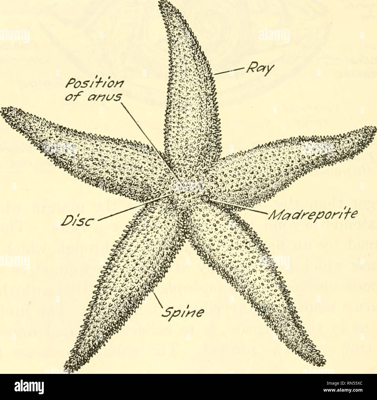 hight resolution of chapter xxxv starfish a type of the phylum
